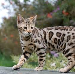 bengal cat pet best 25 bengal cats ideas on bengal kittens