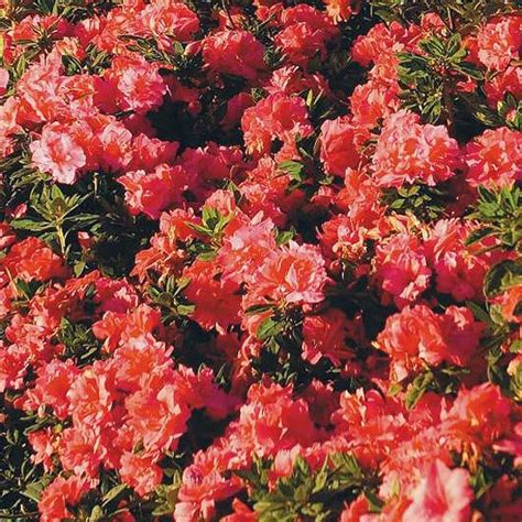 growing conditions for rhododendron best flowering shrubs for hedges