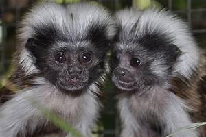 Rare Cotton Top Tamarin monkeys born at Alma