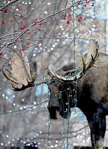 Buzzwinkle moose who wandered downtown Anchorage killed