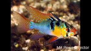 Aquarium Fische Süßwasser Liste : die 10 sch nsten aquarium fische der aquaboss youtube ~ Watch28wear.com Haus und Dekorationen
