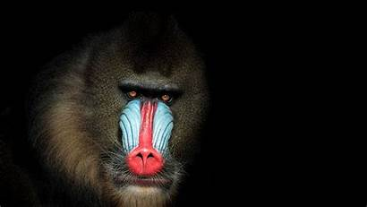 Monkey Largest Colorful Most Mania Cgtn