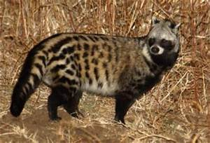 African Civet | The Parody Wiki | FANDOM powered by Wikia