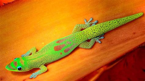 gold dust day gecko facts  pictures
