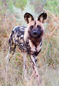 Best Bull Designs African Painted Dogs Picture Unique Updates