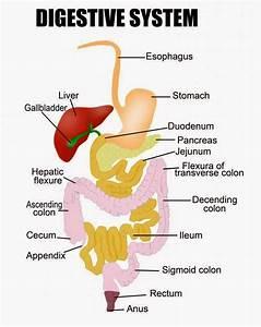 Quaddo Science  Human Digestive System