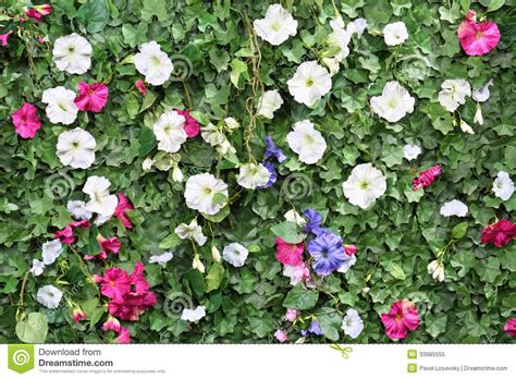 hedge with flowers beautiful artificial green hedge with flowers stock image image of background grounds 33985555