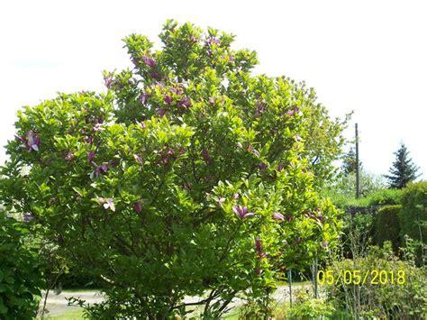 magnolie rot wann zurueckschneiden mein schoener garten