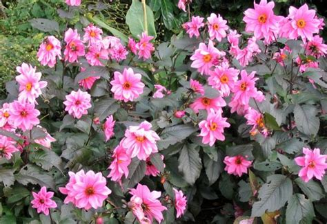 how to take care of dahlias in a pot taking care of dahlias the trick with deadheading