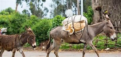 Animal Donkey Working International Walking Spana Line