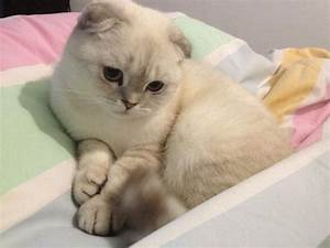 50+ Very Cute Scottish Fold Kitten Photo And Pictures