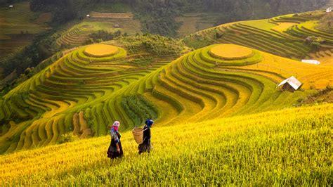 Vietnam. Rice fields prepare the harvest at Northwest