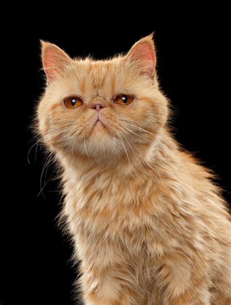 Exotic Shorthair | International Cat Care
