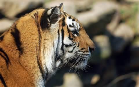 Tiger Face Profile