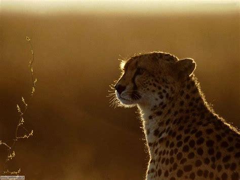 foto giaguari ghepardi leopardi pantere  sfondi pc