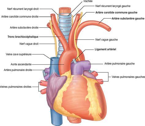 2: RADIOANATOMIE DU THORAX   Medicine Key