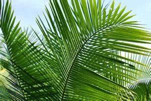 Kokos Blumenerde Für Welche Pflanzen : video welche palme habe ich die beliebtesten palmenarten im berblick ~ Orissabook.com Haus und Dekorationen