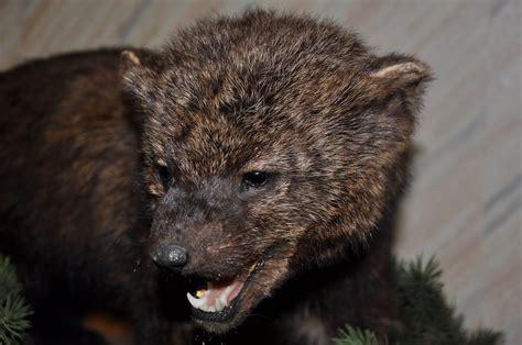 Amazing Adirondack Weasel