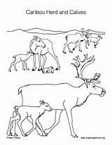 Caribou Coloring Calves Herd Calf Printable Getcolorings Animals Nature sketch template