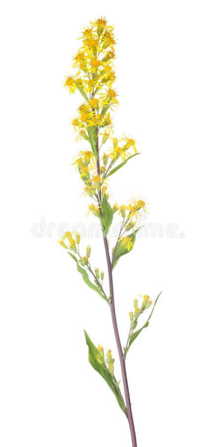 Small Wild Yellow Flowers On Long Stem Stock Photo  Image Of Plant, Leaf 62023130