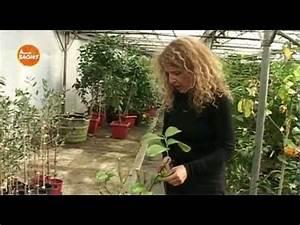 Tailler Un Citronnier : tailler vos agrumes agrumes bach s youtube ~ Melissatoandfro.com Idées de Décoration