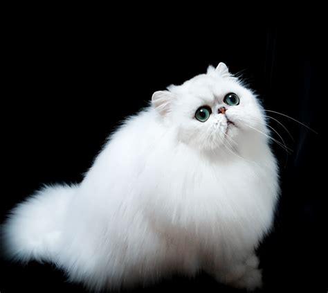 Persian Cat Breeders