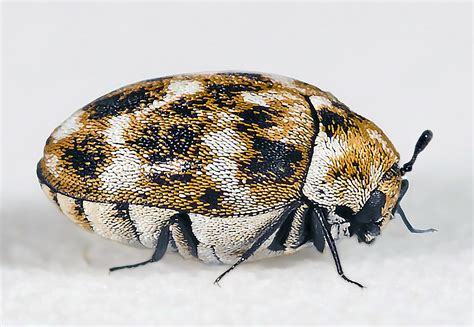 Identification #1495866070 = Black Carpet Beetle Cleaning Carpet Glue Off Hardwood Floors What To Do Get Dog Urine Out Of Right Best Cleaner Reviews Services Phoenixville Pa Can You Use Smell How Motor Oil Stains Spot For Pets