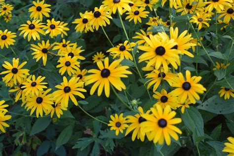 black eyed susans black eyed susan brown eyed susan and olof rudbeck the younger gardeninacity