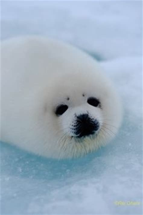 baby white fluffy seal animals pinterest baby seal