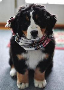 8 Cutest Bernese Mountain Dog Puppies Pictures | All ...