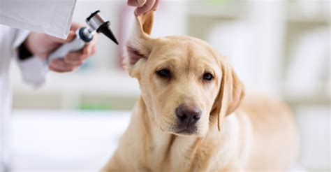 treat  dog ear infection lele pets pet advice