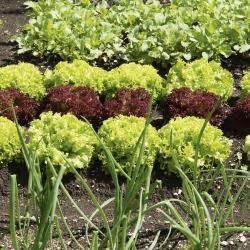 Salat Pflanzen Abstand : chicor e pflanzen pflege und tipps mein sch ner garten ~ Markanthonyermac.com Haus und Dekorationen