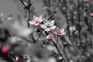 Cherry Blossom - Color Splash by xXRookieXx on DeviantArt
