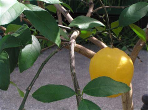 arrosage citronnier en pot arrosage engrais tout