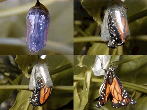 Moth Coming Out Of Cocoon