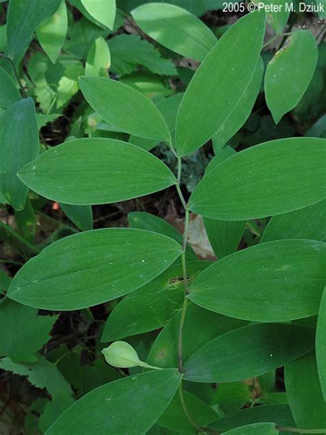 uvularia sessilifolia sessile leaf bellwort minnesota