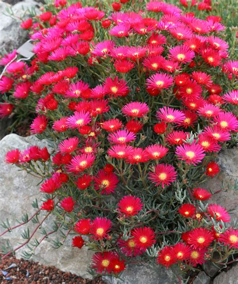 black l shade lranthus sp 39 flash 39 buy at 39 s annuals