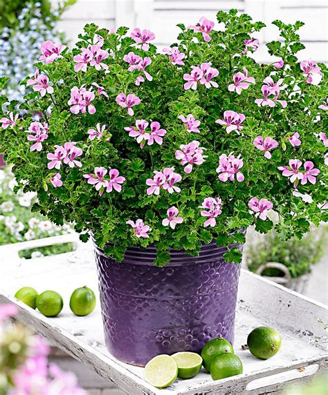 lemon scented geranium care image gallery lemon geranium