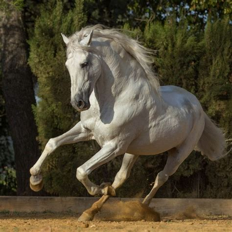 andalusian horse horses spanish breeds origins impact running colors rider breed versatility countries due many popular very carthusian