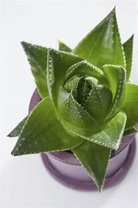 Pflanze Mit Fleischigen Blättern : attraktive gr npflanzen mein sch ner garten ~ Buech-reservation.com Haus und Dekorationen