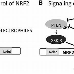 Regulation of NRF2 by protein stability. (A), KEAP1/NRF2 ...
