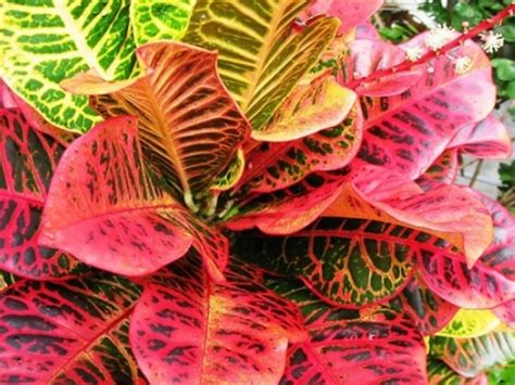 tanaman daun puring 14 berbagai jenis dan ciri ciri tanaman hias bibitbunga