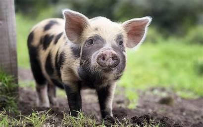 Pig Nose 4k Wallpapers Widescreen Resolutions