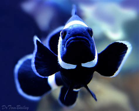 clownfish  sale saltwater aquariumfishnet