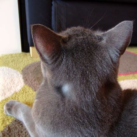 cat spots gray cat loosetooth