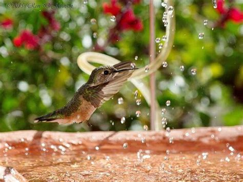 hummingbird water hummingbird female playing in the water streams from the fountain hummingbird at bathtime