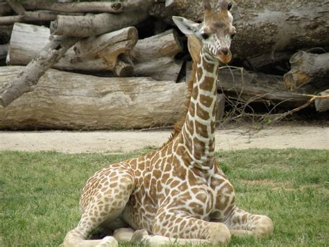 10 Amazing Things About Giraffe Labor And Pregnancy
