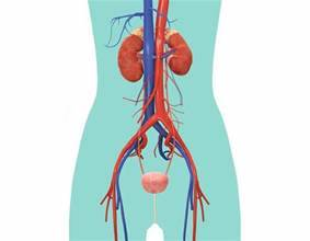 Urinary System For Kids | Urinary System Diagram | DK Find Out