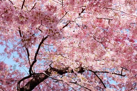 Japan Cherry Blossom Wallpaper Cherry Blossom Background Stock Photo Image Of Season 13936026