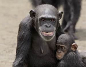 New York Blood Center Abandons 66 Chimps, Leaving Them To ...